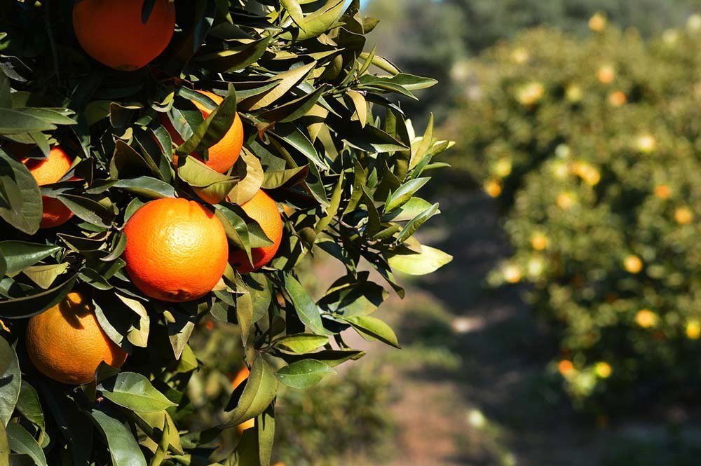 Orange trees in sunset, Edible Bike Tours, Spain
