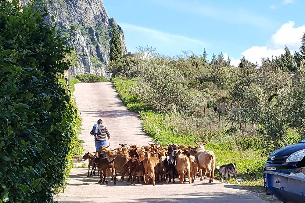 Goat owner herding goats up a country road to Mt Algarin, near El Jaral, El Gastor, Cadiz, Spain