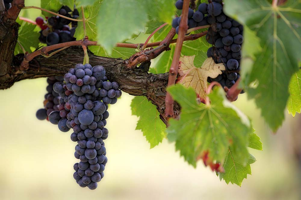 Black grapes ready for picking, and tasting, Edible Bike Tours, Spain