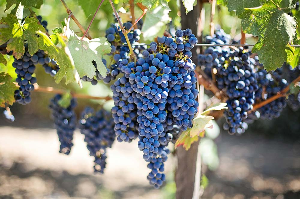 Bunches of black grapes hanging from vines in a vineyard in Spain